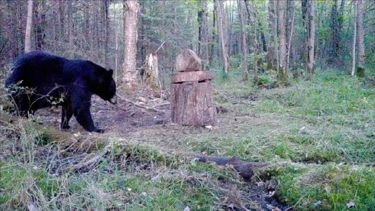 Bear Baiting Mistakes